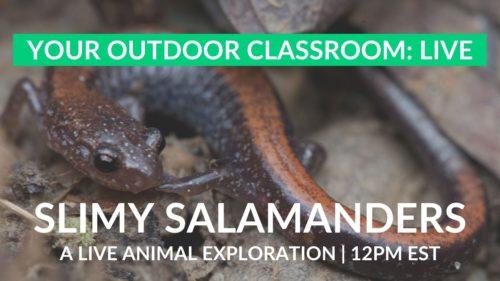 red-backed salamanders