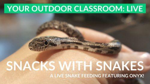 live snake feeding