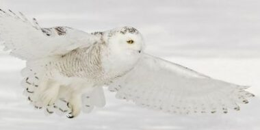 Where to see snowy owls Cleveland