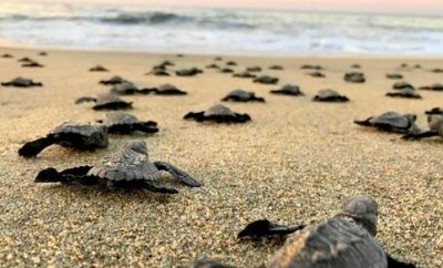 Experience the Sea Turtle Release