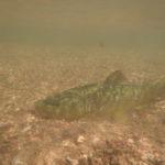 Brown trout resting on gravel bottom underwater