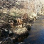 Chloe the boxer dog standing on the bank of a small creek