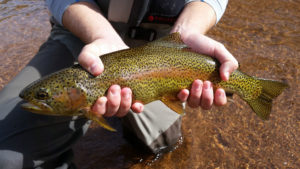 Close up of golden colored rainbow trout