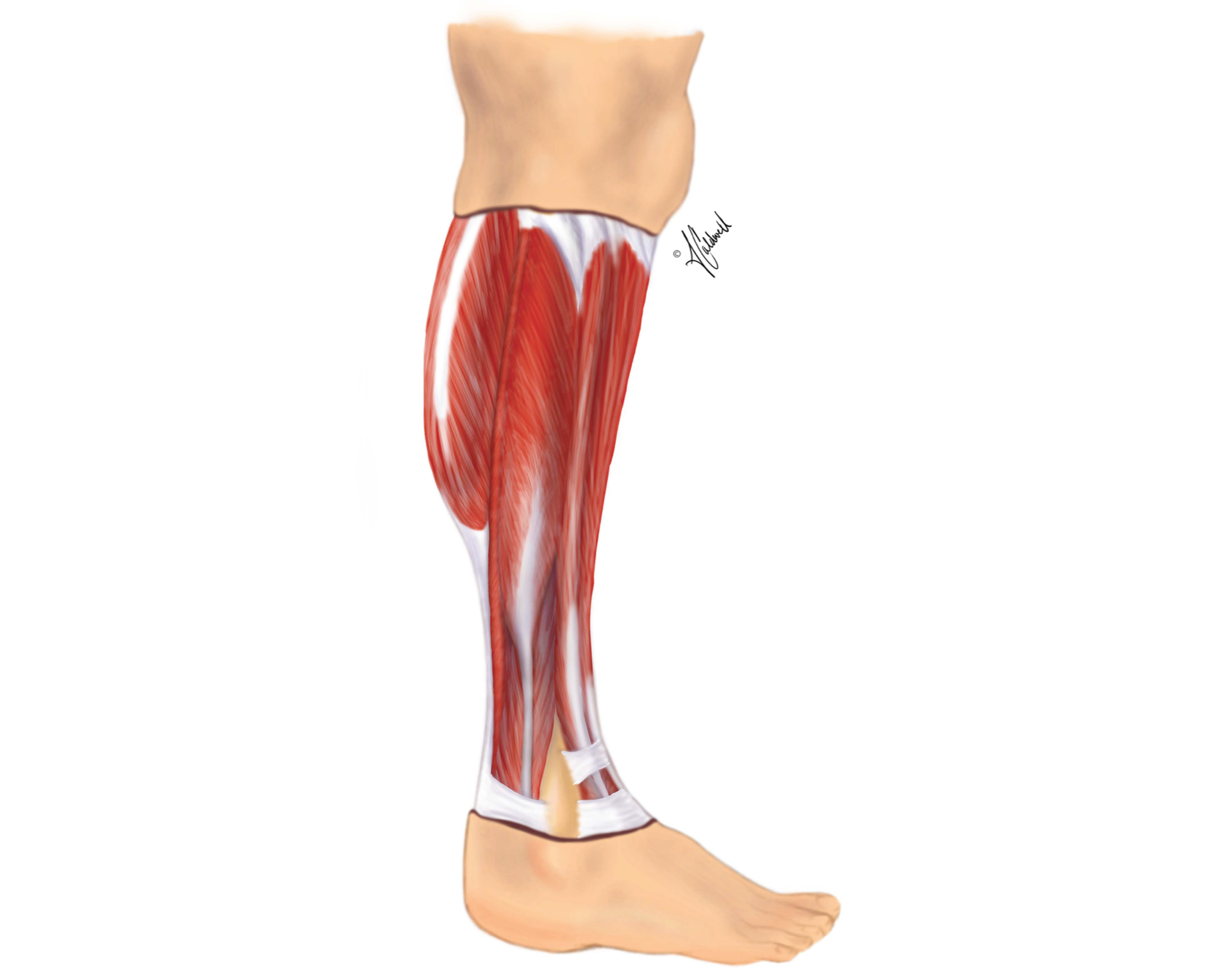 Anatomy of Lower Leg
