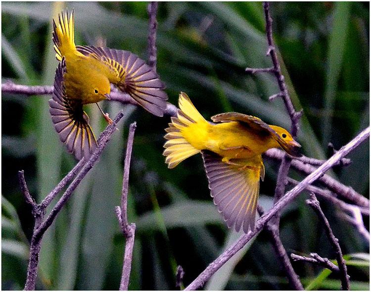 Glenn Urquhart - Fleeting Warblers - B IOM