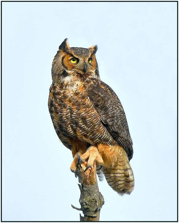 Glenn Urquhart - Great Horned Owl - B IOM