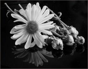 Helen-Albano-Daisy-Reflection