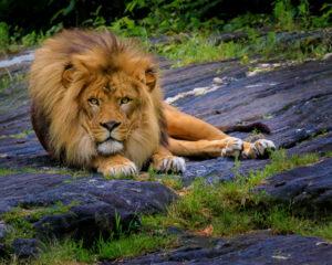 Vin Como-Resting Lion