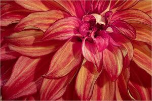Joe Senzatimore-Dahlia On Fire-Salon Color IOM