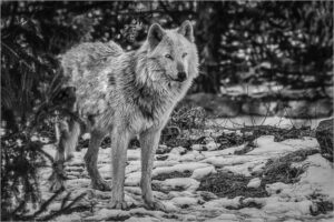 Vince Como-Wolf In The Woods-B&W B IOM