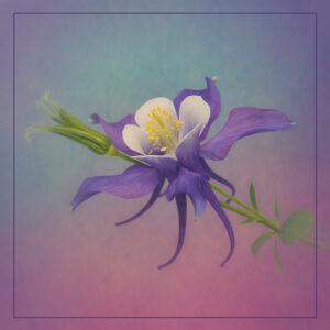 Valerie Interligi- Purple And White Columbine- Color S- 10 (IOM)