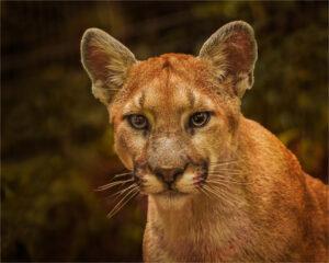 Vin Como- Puma Face To Face- Color-B- 10 (IOM)