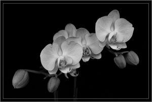 Valerie Interligi-B&W S-Orchids-10 (IOM)
