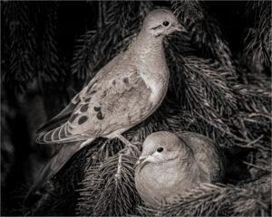 Vin Como-B&W-B-Mourning Doves Nesting-9 (IOM)