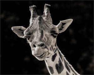 Vin Como-B&W B-Smiling Giraffe-9.5 (IOM)