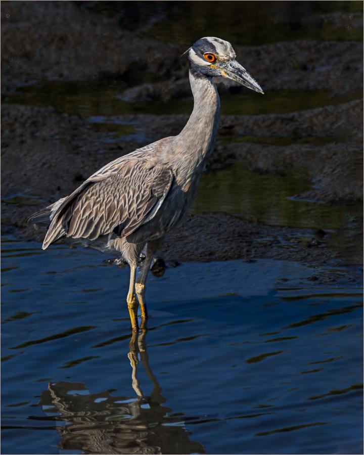 Vin Como-Color-B-Yellow Crowned Night Heron-9 (IOM)