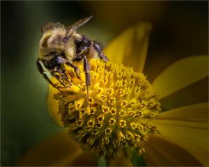 Vince Como-Collecting Pollen-Color B IoY