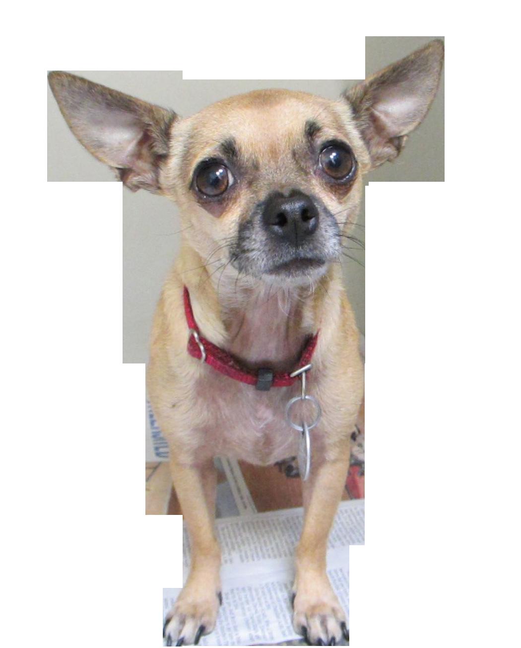 Vetco Pet license Chihuahua