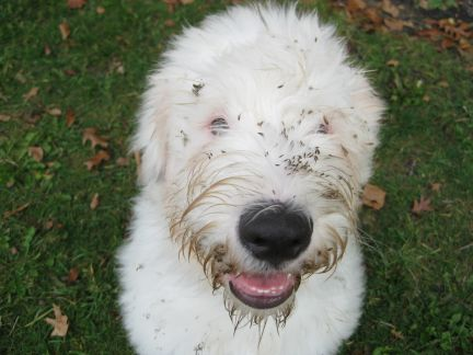 dog with burrs