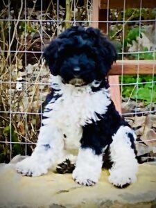 Lake City Labradoodles Puppies for Sale in Coeur d Alene, ID