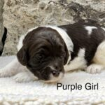 Doodle Puppy for Sale in Idaho
