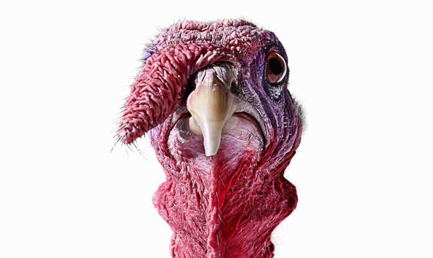 Cryptozoo: Dire Turkey Food Fight