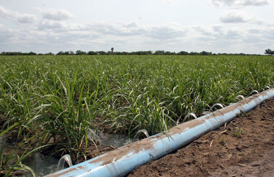Grain sorghum under irrigation in the Valley. Most all crops in the Lower Rio Grande Valley are dependent upon irrigation water, according to Texas A&M AgriLife Extension Service experts. (Texas A&M AgriLife Extension Service photo by Rod Santa Ana)
