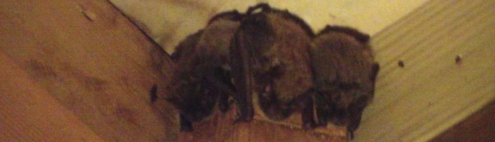 Dane County Bat Removal