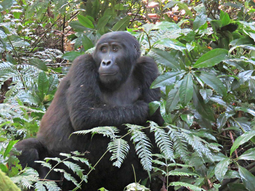 Uganda's mountain gorillas