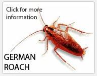 german_roach