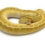 Butter Enchi Pastel Pinstripe ball python