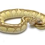 Butterfly ball python