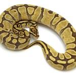 Ball Python, Enchi Fire morph