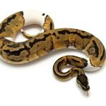 Ball Python, Piebald Low White morph