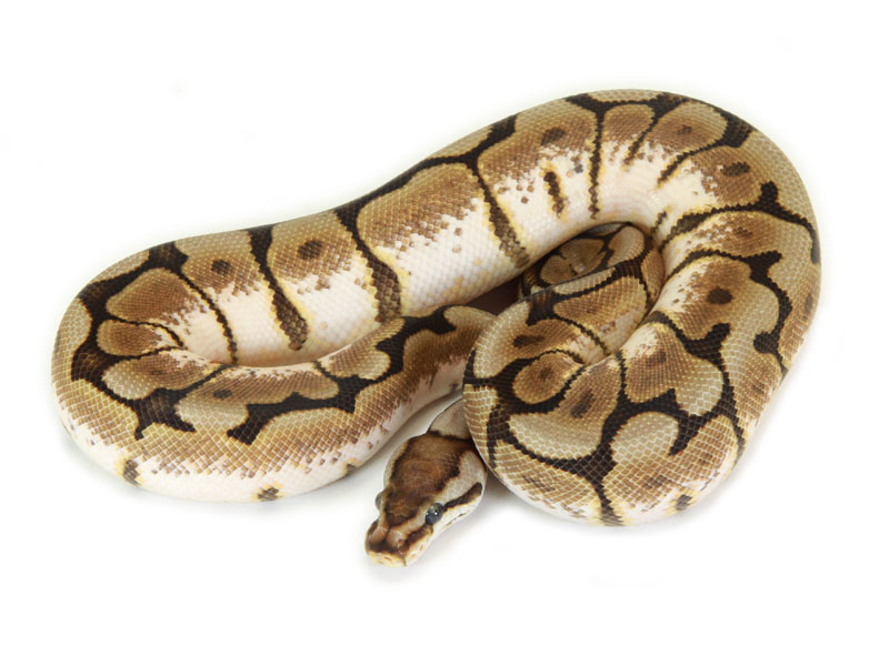 ball python, cinnamon spider