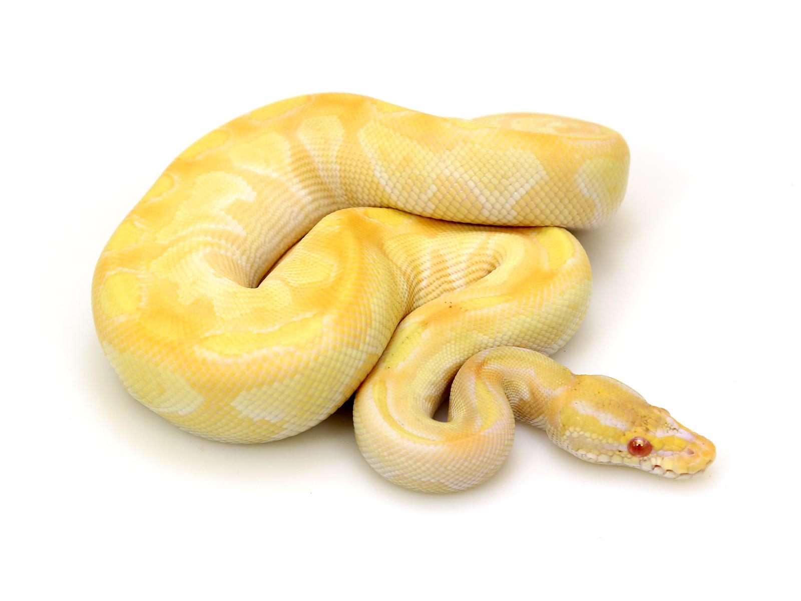 Albino Butter