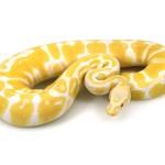 ball python, albino pastel