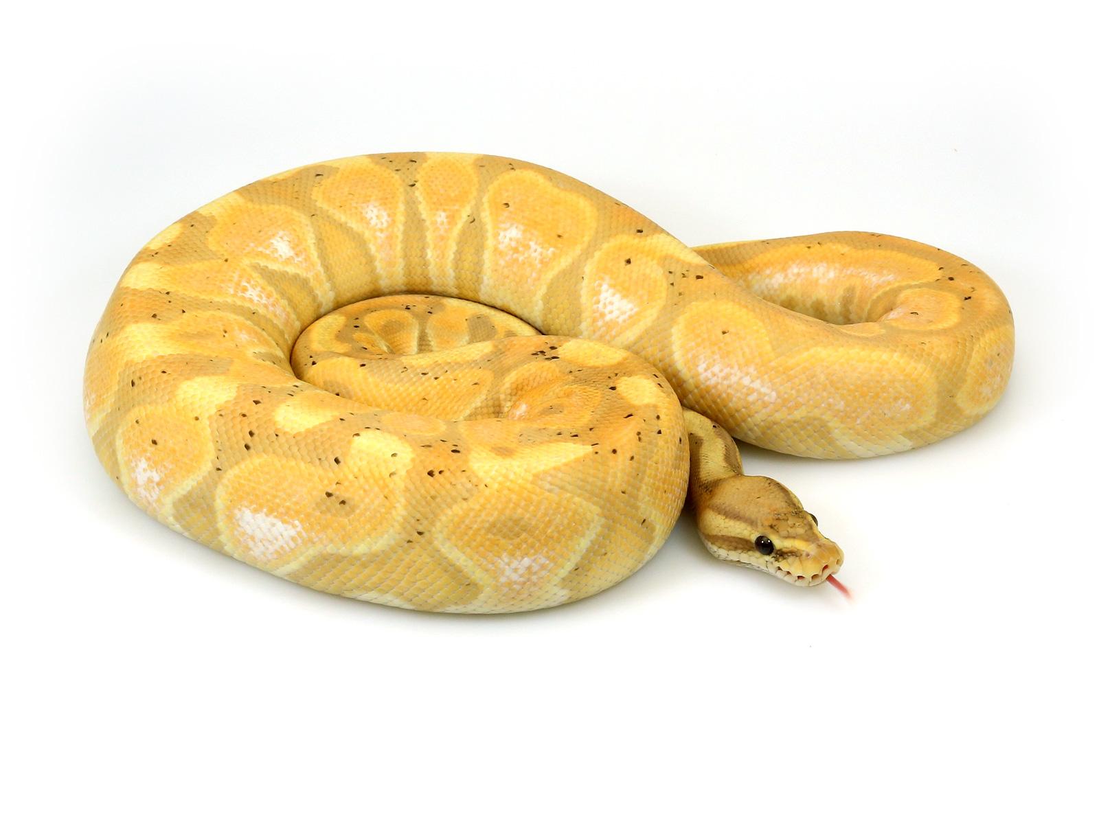 ball python, banana cinnamon enchi