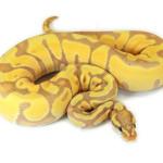 ball python, banana enchi
