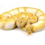 ball python, banana spider