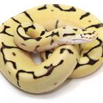 ball python, eyeless bumble bee fire
