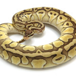 ball python, butter pastel