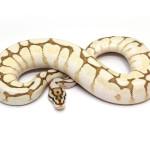 ball python, butter spider fire