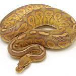 ball python, caramel cinnamon
