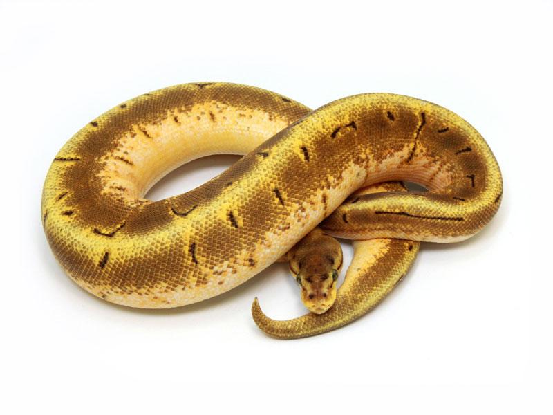 ball python, enchi spinner