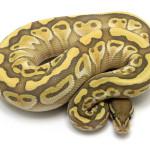 ball python, lesser ghost