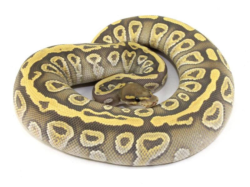 ball python, mojave ghost