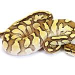 Ball Python, Orange Dream Butter Pastel