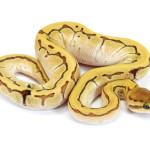 Ball Python, Orange Dream Butter Pinstripe