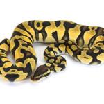 Ball Python, Orange Dream Pastel